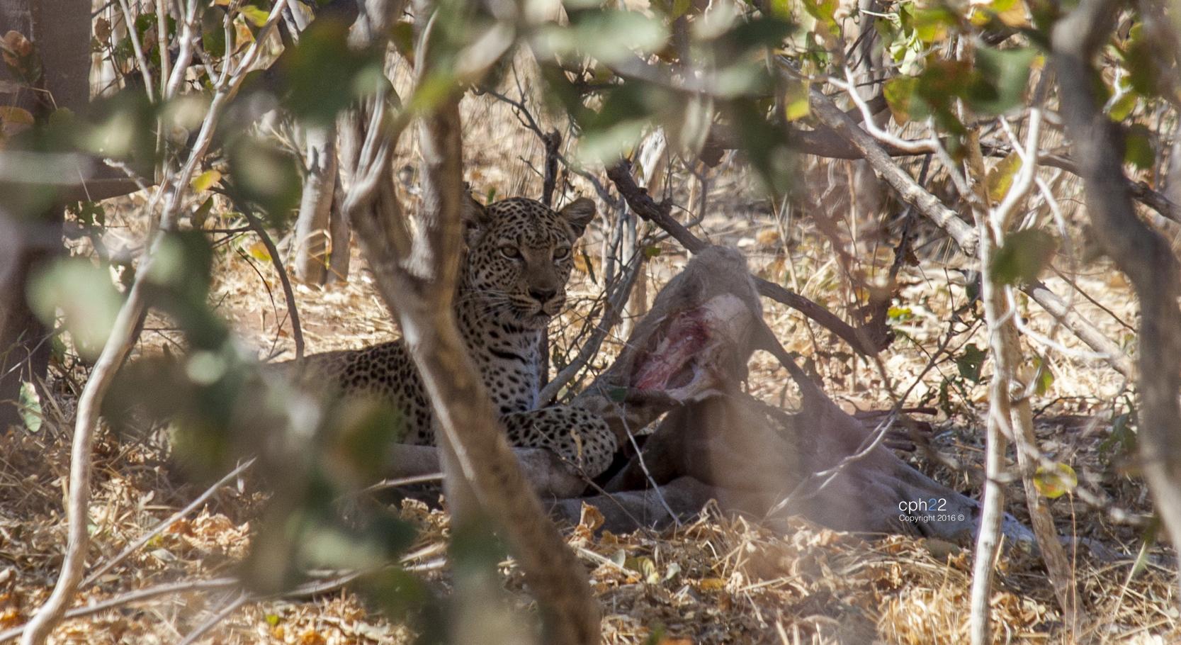Merienda de Leopardo
